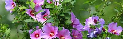 hibiscus1000x321th1.jpg