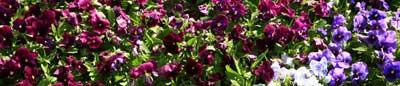 pansies2-1000x215th1.jpg